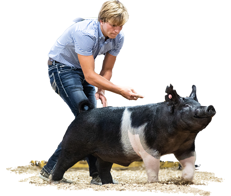 Indiana State Fair Reserve Champion Barrow Ring Shot
